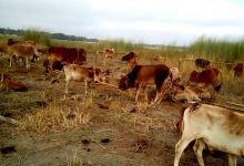 BSF Seized Huge Numbers of Cattle Heads